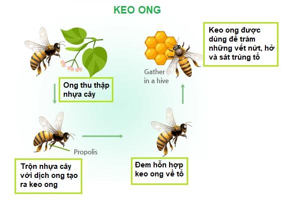 qua-trinh-tao-keo-ong